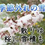 熊谷でも季節外れの雪 散りゆく桜に雪積もる